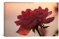 Blushing Rose, Canvas Print