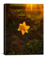 Sunny Daffodil, Canvas Print