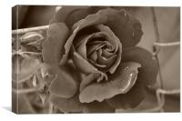 Drop from a Rose, Canvas Print
