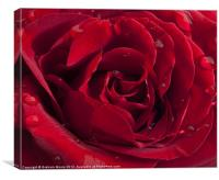 Red Rose with raindrops, Canvas Print