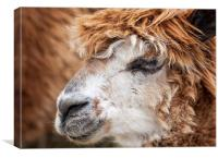 Brown Alpaca, Canvas Print
