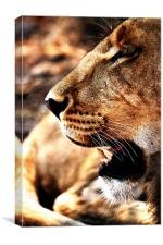 Lion Profile, Zimbabwe, Canvas Print