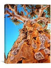 Kokerboom - a quiver tree, Canvas Print