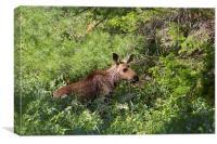 Lost Moose Calf, Canvas Print