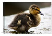 The Not-So-Ugly Duckling, Canvas Print