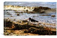 The Black Isle Oystercatcher, Canvas Print