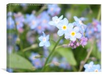Forget-Me-Not 1, Canvas Print