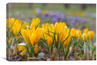 Spring Crocuses, Canvas Print