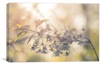 Cherry in blossom, Canvas Print