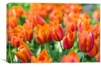Triumph orange tulip, Canvas Print
