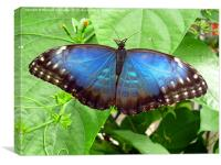 Butterfly at Stratford upon Avon butterfly farm, Canvas Print