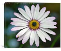Osteospermum Flower, Canvas Print