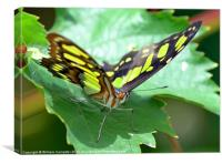 Butterfly at Butterfly world wotton isle of wight, Canvas Print