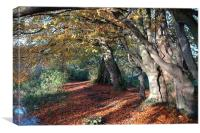 Coltishall, Norfolk, Autumn Beech Trees, Canvas Print