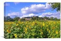 Sunflower Field, Peak District, Canvas Print