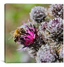 Bee Pollenating Cacti, Canvas Print