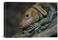 Caiman Lizard, Canvas Print