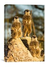 Three wise meerkats, Canvas Print