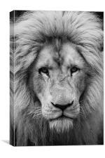 Majestic male white lion, Canvas Print