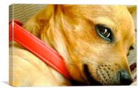 Chihuahua Honey Brown Dog, Canvas Print