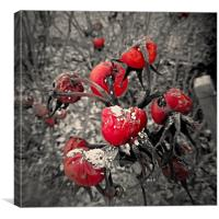 Red Rubys..., Canvas Print