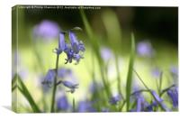 Bluebell in Wood, Canvas Print