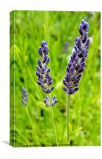 English Lavender, Canvas Print