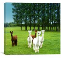 Alpacas, Canvas Print