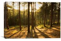 Formby Pinewoods At Dusk, Canvas Print