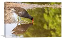 Moorhen drinking at the canal, Canvas Print