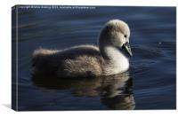 Mute Swan Cygnet, Canvas Print