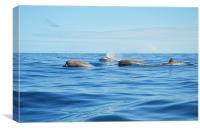 North Atlantic Bottlenose Whales, Canvas Print