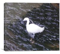 Little Egret in fast river, Canvas Print