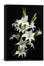 White Gladioli, Canvas Print