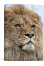 portrait of a lion, Canvas Print