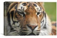 tiger eyes, Canvas Print