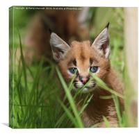 caracal kitten, Canvas Print
