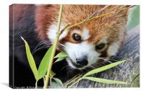 red panda and bamboo, Canvas Print