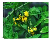 tomato flowering time, Canvas Print