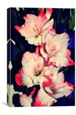 pink and white amazing gladiolus, Canvas Print
