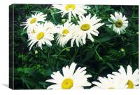 lovely daisy flower, Canvas Print
