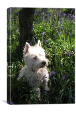Westie in the Bluebells, Canvas Print