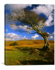 Hawthorn Tree,Prewley Moor, Canvas Print