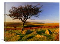 Hawthorn Tree,Two Moors Way, Canvas Print