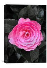 Camellia x williamsii E.G. Waterhouse, Canvas Print