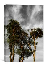 Scots Pine Trees, Canvas Print