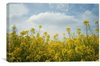Rapeseed field,South Yorkshire, Canvas Print