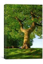 Y Shaped Tree, Hillsborough Park,Sheffield, Canvas Print