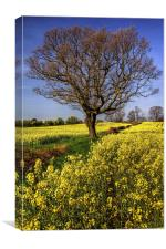 Rapeseed field and Lone Tree , Canvas Print