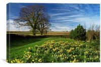 Daffodils at Snowden Heights                      , Canvas Print